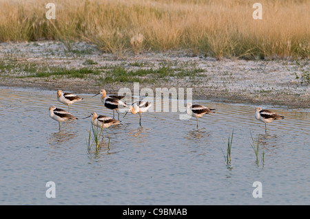 Canada Alberta Tyrrell Lake, Seven American Avocet Recurvirostra americana feeding on shore 5 standing on one leg - Stock Photo