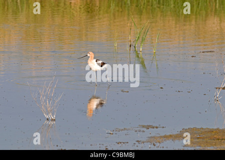 Canada, Alberta, Tyrrell Lake, American Avocet Recurvirostra americana wading in the water, reflection of bird in - Stock Photo