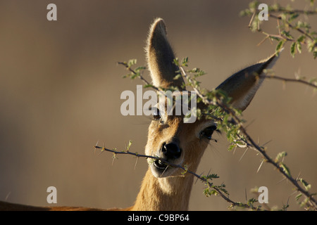 A Steenbok looking camera while it eats leaves off tree Kgalagadi Transfrontier Park Northern Cape Province South - Stock Photo