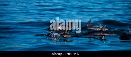 Common Bottlenose Dolphins Tursiops truncatus in Algoa Bay Port Elizabeth beachfront in background Eastern Cape - Stock Photo