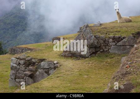 Llama (Lama glama) amongst the Inca terraces at Machu Picchu, Aguas Calientes, Peru, South America - Stock Photo
