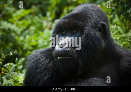 Mountain Gorilla (Gorilla g. beringei), Volcanoes National Park, Rwanda - Stock Photo