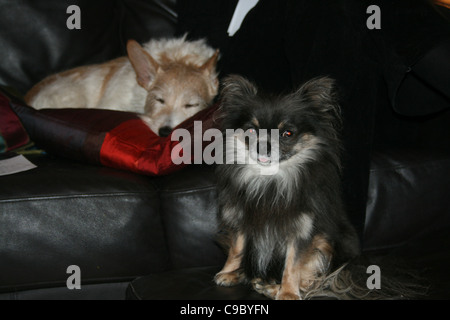 Laying on black sofa a tan and white wire hair mongrel in the foreground a chihuahua or Mexican dog sitting on black - Stock Photo
