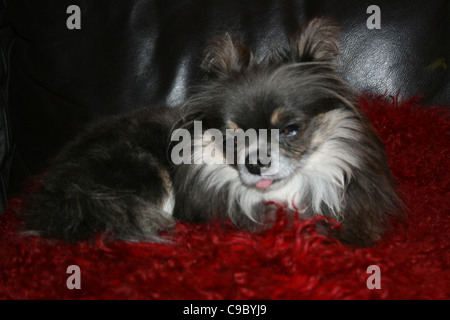 Dark brown and tan with white bib chihuahua or Mexican dog tongue hanging out resting on red cushion on black leather - Stock Photo
