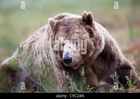 Eurasian Brown bear Finland - Stock Photo