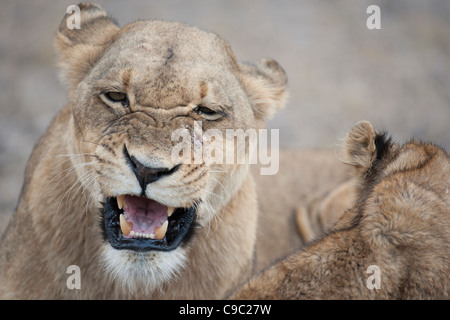 Lioness snarling at cub lion Panthera leo Botswana - Stock Photo