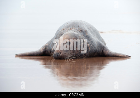 Grey seal bull Halichoerus grypus UK - Stock Photo
