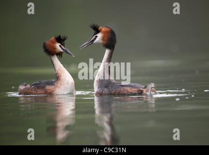 Great crested grebes performing greeting display UK - Stock Photo