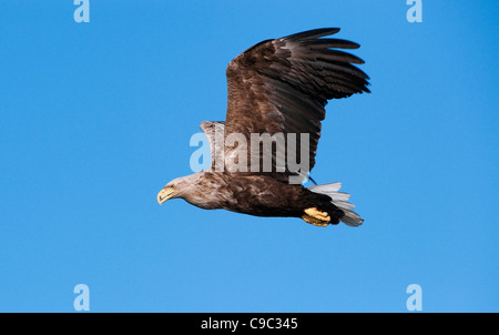 White tailed eagle in flight Norway - Stock Photo