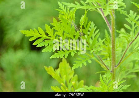 Common ragweed (Ambrosia artemisiifolia) - Stock Photo
