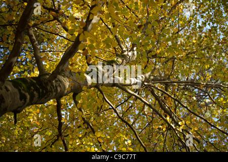 European Beech or Common Beech (Fagus sylvatica) tree - Stock Photo