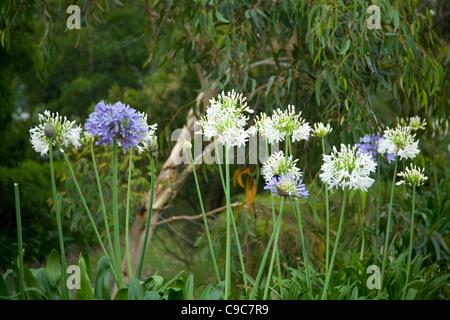 Plant agapanthus flowering
