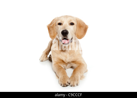 Golden retriever dog puppy isolated on white background - Stock Photo