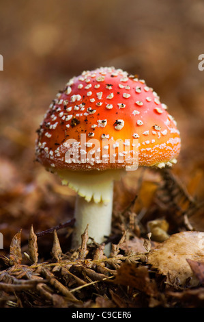 A single red with white spots Fly Agaric Fungi -  Amanita muscaria - Stock Photo