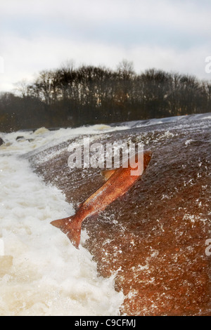 Wild Atlantic Salmon, Salmo salar leaping upstream at the Ettrick water cauld, Philiphaugh, Selkirk, Scotland, UK - Stock Photo