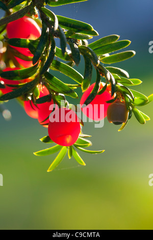 Yew; Taxus baccata; berries; UK - Stock Photo