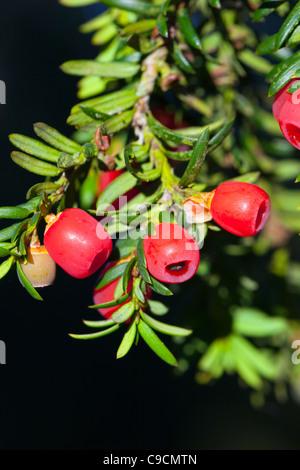 Yew; Taxus baccata; berries; UK - Stock Photo