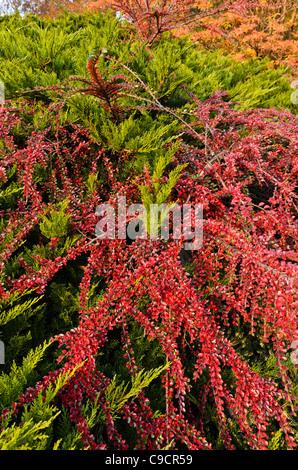 Temple juniper (Juniperus sabina 'Tamariscifolia') and herring bone cotoneaster (Cotoneaster horizontalis) - Stock Photo