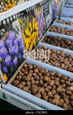 Spring bulbs for sale in a town market, Norfolk, UK, November, - Stock Photo