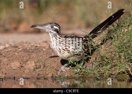 Greater Roadrunner, Geococcyx californianus, looking for water and relief from summer heat. - Stock Photo