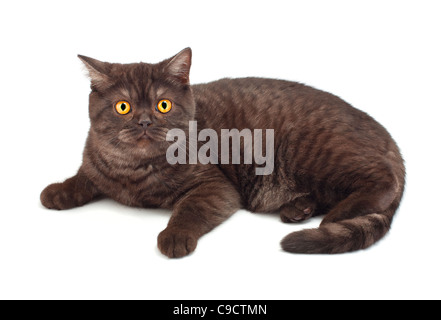 British chocolate cat on white - Stock Photo