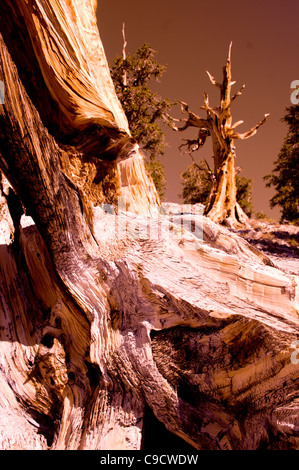 ancient Bristlecone pine forest, grove of 3000- 4000 year old trees in the White Mountains, Inyo National Forest, California