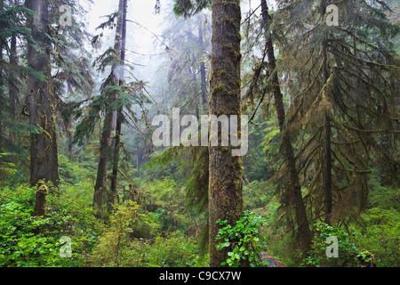 Old-growth rainforest, Pacific Rim National Park, Vancouver Island, British Columbia, Canada. - Stock Photo