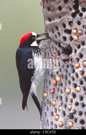Acorn Woodpecker storing Acorns - vertical - Stock Photo