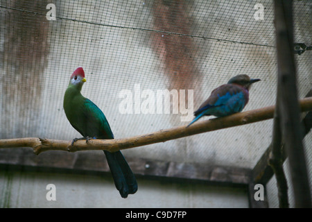 Tauraco erythrolophus / Red-crested Turaco. Two tropical birds on a perch, inside an aviary. - Stock Photo