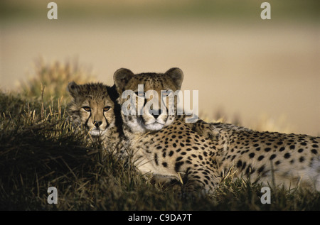 Two cheetahs lying together - Stock Photo