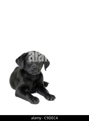 black labrador puppy - Stock Photo