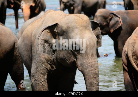Elephants at the Pinnawela Elephant Orphanage, Sri Lanka - Stock Photo