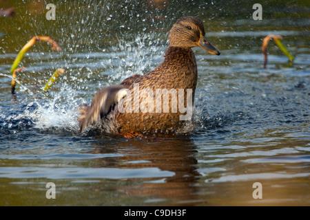 Female Mallard (Anas platyrhynchos) bathing by splashing water in pond - Stock Photo