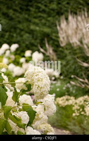 Hydrangea arborescens 'Annabelle' AGM, in flower - Stock Photo