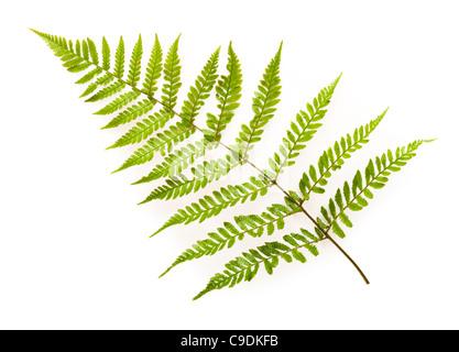 Fern leaf, Japanese Shield Fern, Dryopteris erythrosora. - Stock Photo