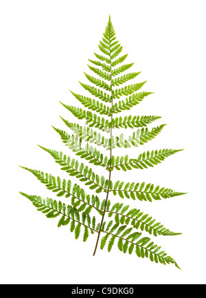 Fern leaf, Japanese Shield Fern, Dryopteris erythrosora. - Stock Photo