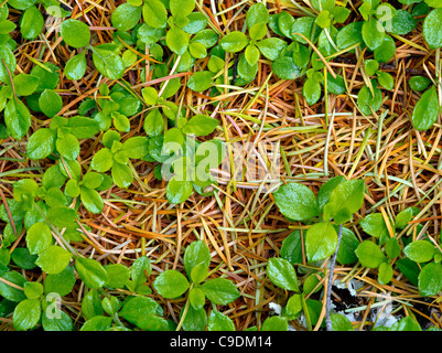 New spring growth on unidentified plant and Douglas Fir tree needles. Rogue River National Forest, Oregon - Stock Photo