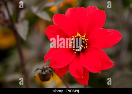 Dahlia 'Bishop of Llandaff' in flower - Stock Photo