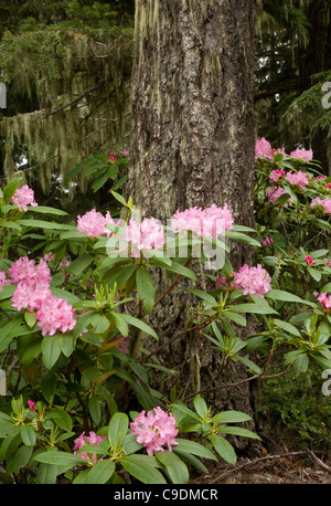 WASHINGTON - Native rhododendrons blooming in the forests of the Olympic Peninsula. - Stock Photo