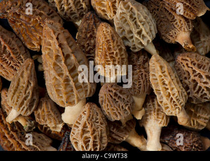Feb. 26, 2012 - Roseburg, Oregon, U.S - Freshly picked wild morel mushroom are displayed on a hillside in rural - Stock Photo