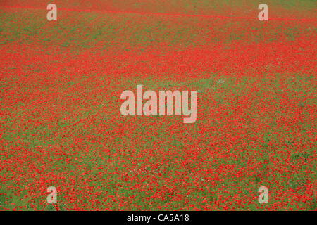 Field of red poppies in Blackstone Farm Nature Reserve near Bewdley, Worcs UK - Stock Photo
