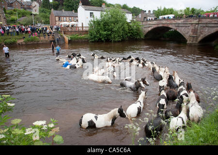 10th June 2012 at Appleby, Cumbria, UK. Horses washing in the river Eden. Sunday is traditionally a busy day for - Stock Photo
