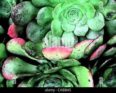 Jun 03, 2004; Los Angeles, CA, USA; Green succulent plants. - Stock Photo
