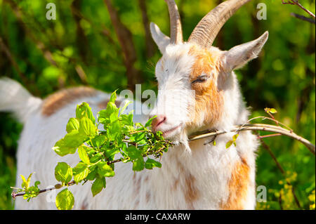 Nigerian Dwarf Goat grazes, helping control weeds in environmentally friendly way, during goatherd's walk at Levy - Stock Photo