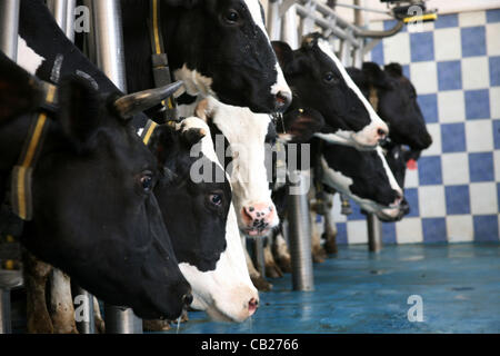 May 22, 2012 - Hebron, West Bank, Palestinian Territory - A Palestinian feeds his cows for the benefit of milk and - Stock Photo