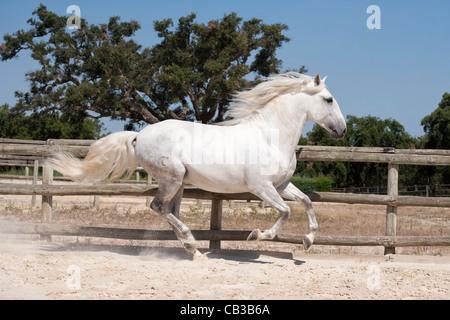 purebred Lusitano horse stallion Portugal Lezirias - Stock Photo