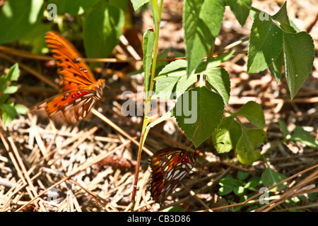 Gulf Fritillary or Passion Butterfly, Agraulis vanillae - Stock Photo