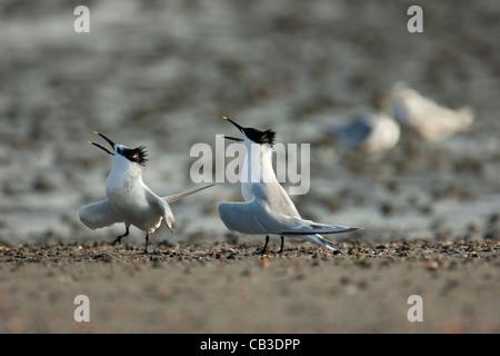Sandwich Terns (Thalasseus sandvicensis / Sterna sandvicensis) calling on beach in breeding colony at Zeebrugge, - Stock Photo