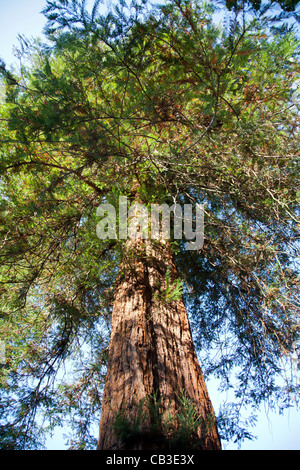 Sequoia Sempervirens at Kew Gardens in London - Stock Photo