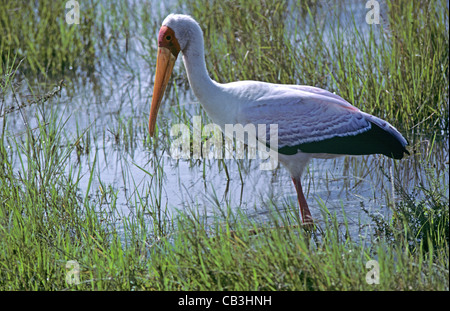 A white stork (Ciconia ciconia) in the Masai Mara, Kenya - Stock Photo
